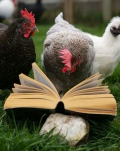 reading chicken